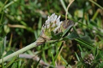 Gestreepte klaver (Trifolium striatum)